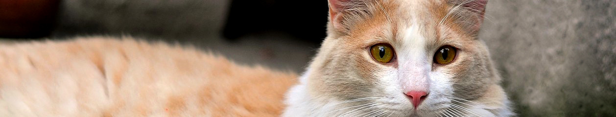 Galeria Rasowy Kot